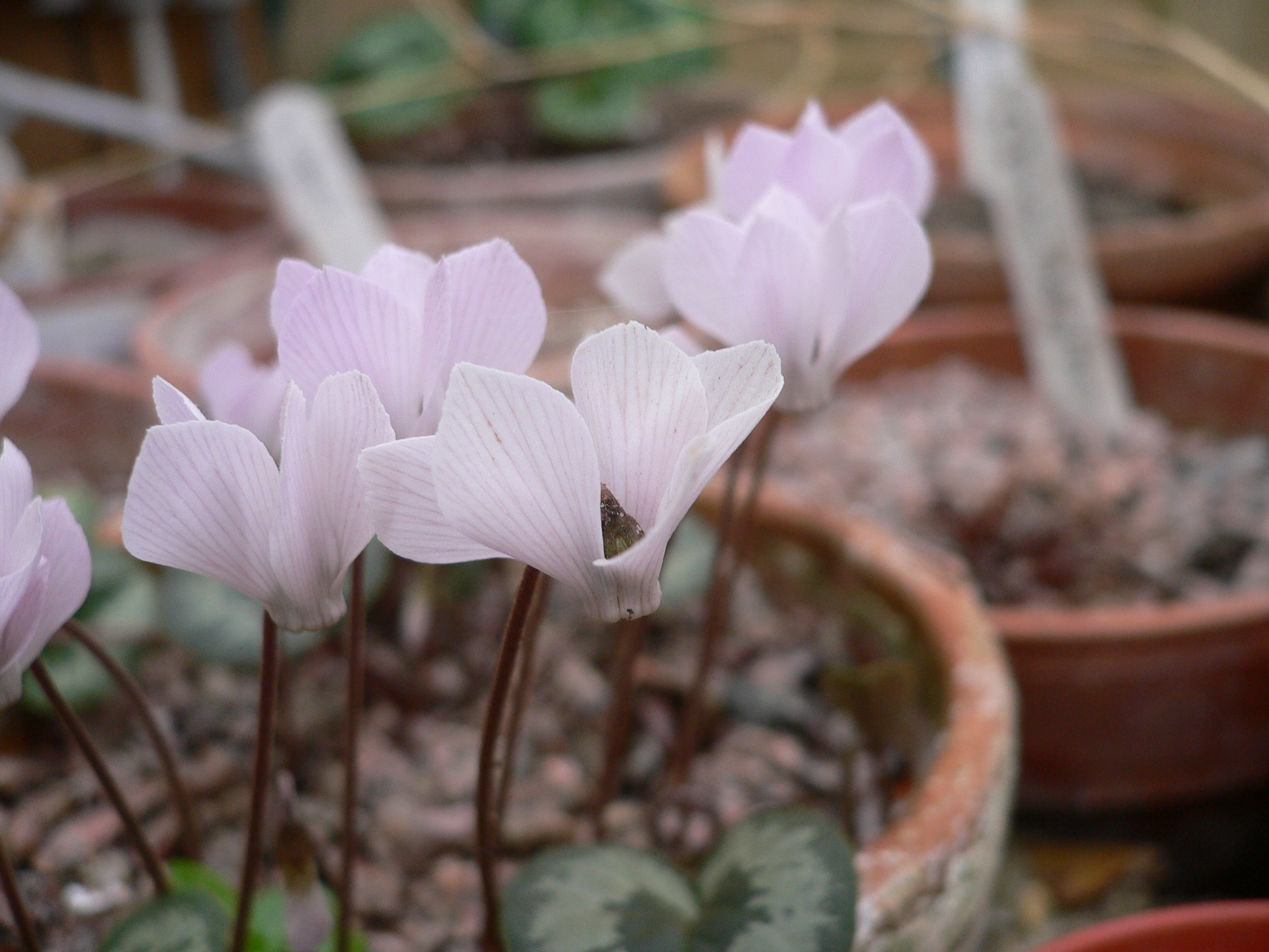 Цикламен Интаминатум(Cyclamen intaminatum)