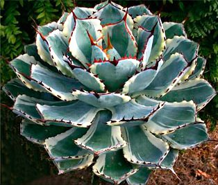 Агава Потаторум  ( Agave potatorum Zucc)