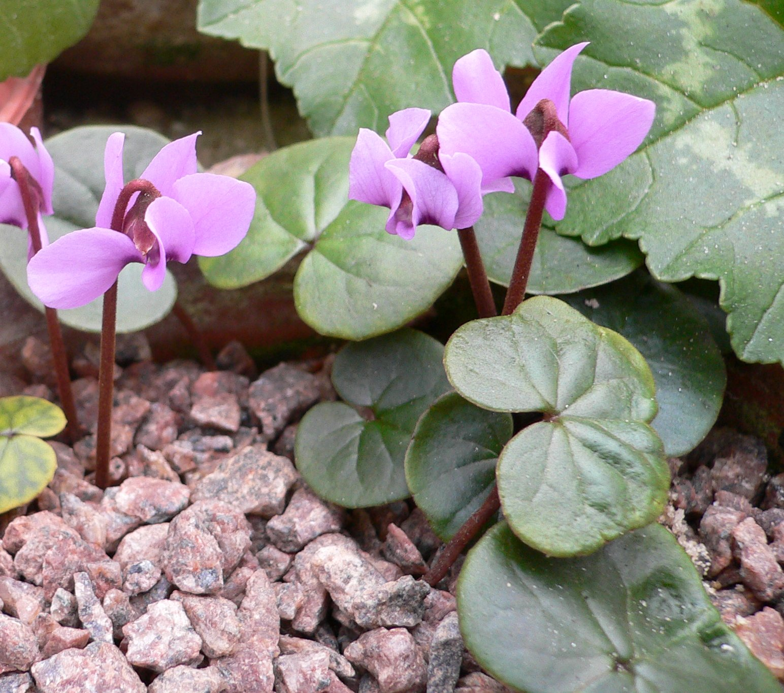Циклaмeн Мeлкoцвeткoвый (Cyclamen parviflorum)